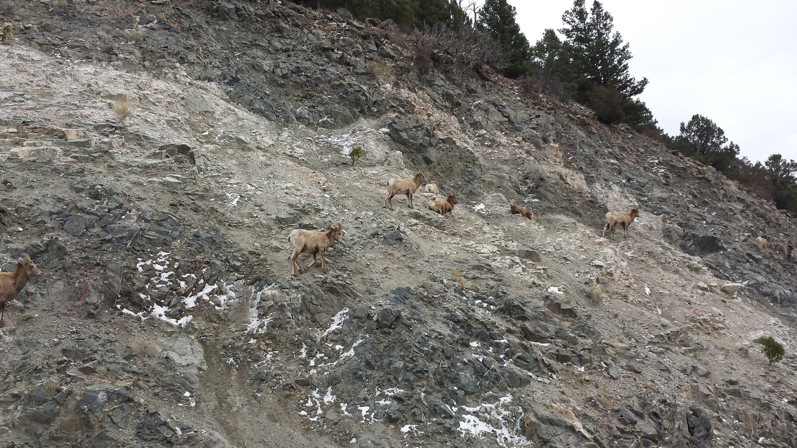 Big Horn Sheep on CR1_1
